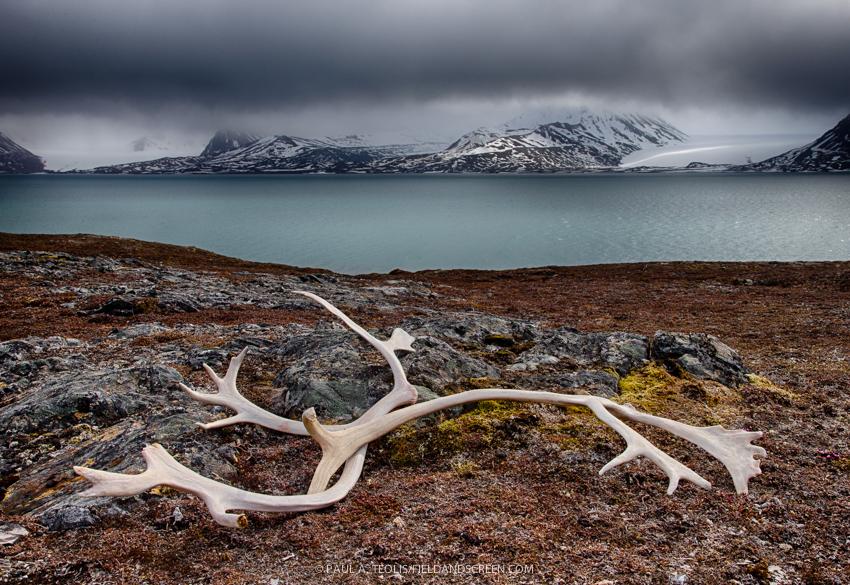 Reindeer antlers, St. Jonsfjord, Gjertsenodden, Svalbard.