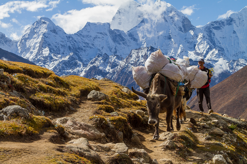Yaks are a commonly used in this area of the world.