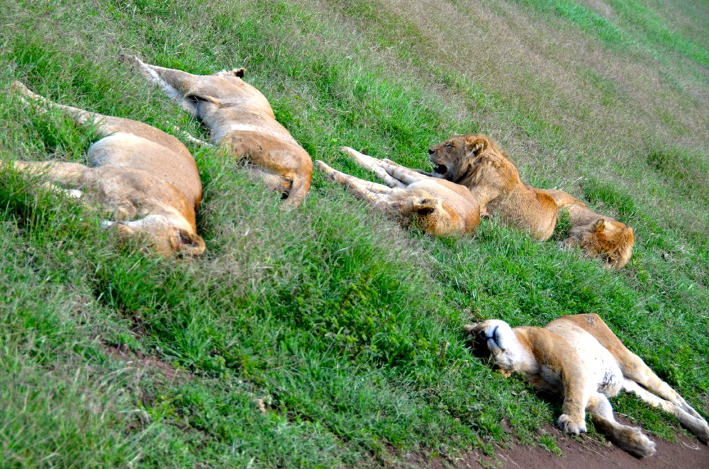 The shelter the crater creates means the lions here have become rather lazy. Photo courtesy Keith Hajovsky.