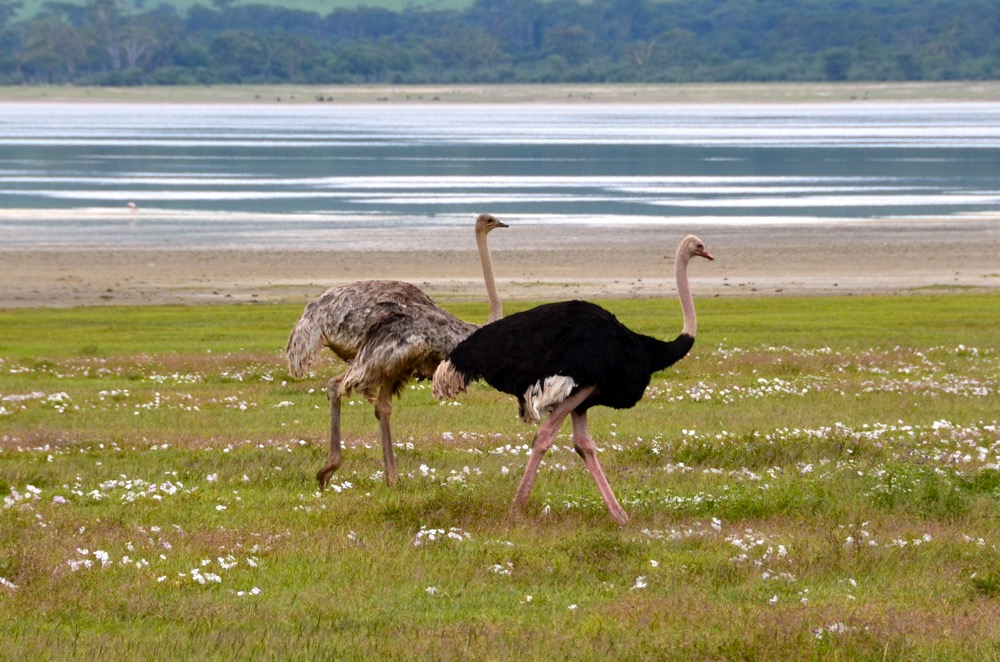 A pair of ostriches saunter along. Photo courtesy Keith Hajovsky.