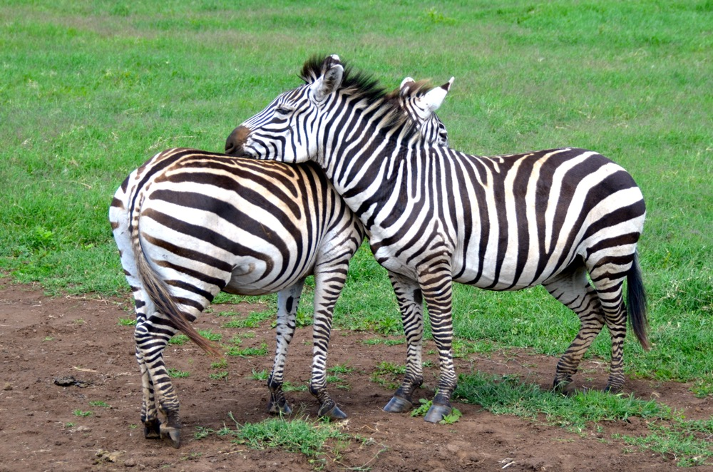 Zebras having a rest in an ingenious way! Photo courtesy Keith Hajovsky.