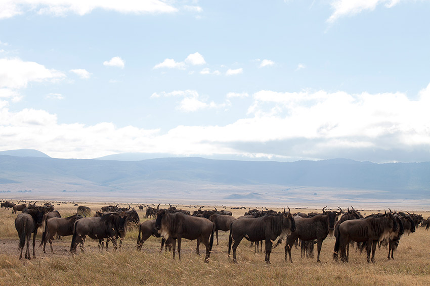 Wildebeest migrate through the Serengeti each year.