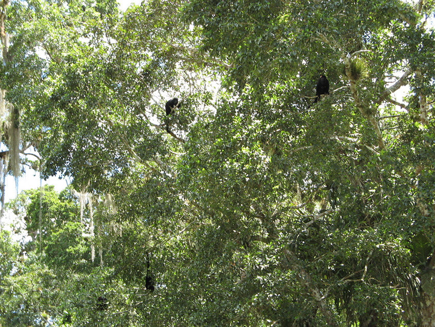 Howler monkeys litter the rainforest and as the sun begins to rise. Photo courtesy Ali E.