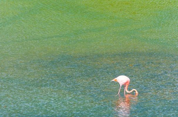 Galápagos flamingo on Santa Cruz Island.